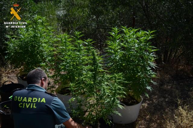 La Guardia Civil intervine 8 plantas de marihuana en Almodóvar del Río y detiene a dos personas
