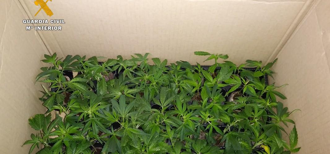 Detenido en Montilla un joven de Rute por llevar 64 plantas de marihuana en el coche