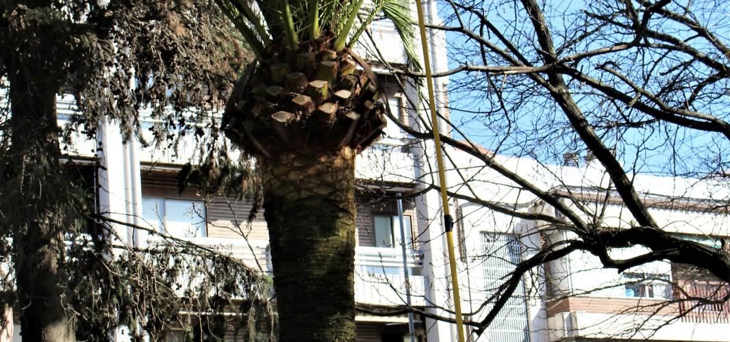Un nuevo tratamiento para la lucha biológica contra el Picudo Rojo de las palmeras