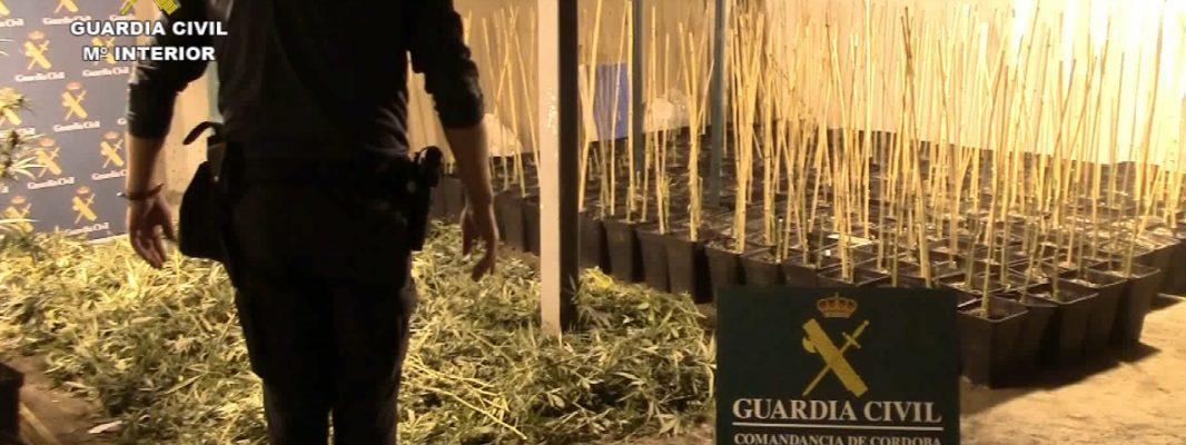 """Desmantelada en La Carlota la mayor plantación de marihuana tipo """"indoor"""" de alto rendimiento descubierta en la provincia"""
